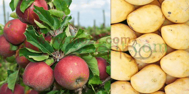 سلة الفواكه المانجا والتفاح