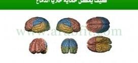 خلايا الدماغ كيف يمكن حماية خلايا الدماغ